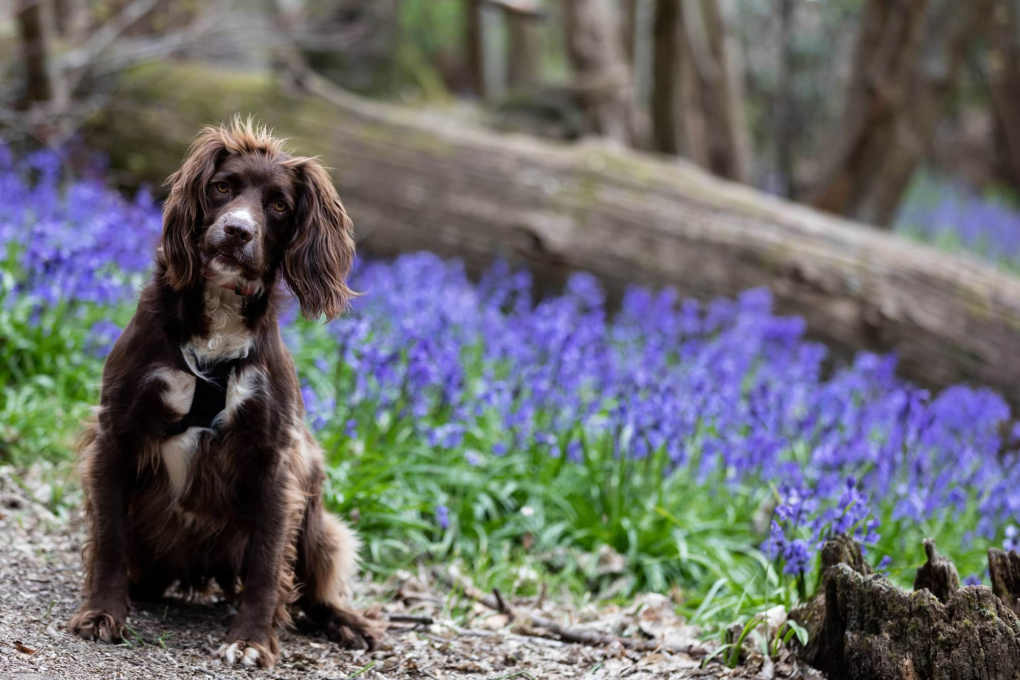 Dog in the bluebells